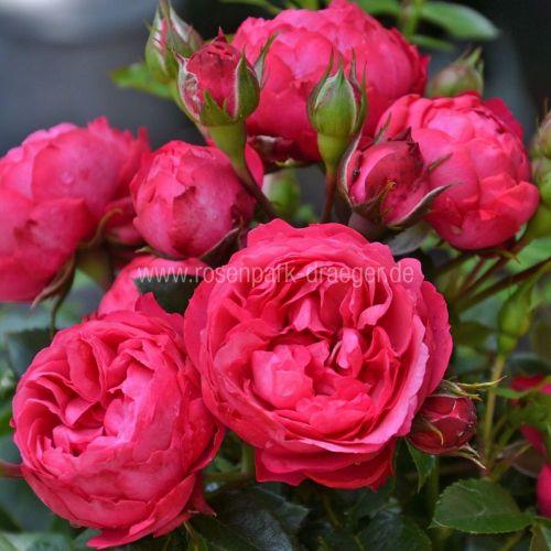 Rosen online kaufen | King George I. | rosenpark-draeger.de