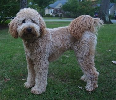 types of goldendoodle haircuts google search pretty pinterest the world s catalog of ideas