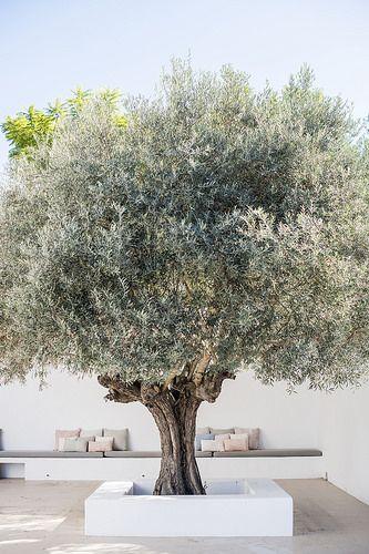 Olive tree Stone & Living - Immobilier de prestige - Résidentiel & Investissement // Stone & Living - Prestige estate agency - Residential & Investment www.stoneandliving.com