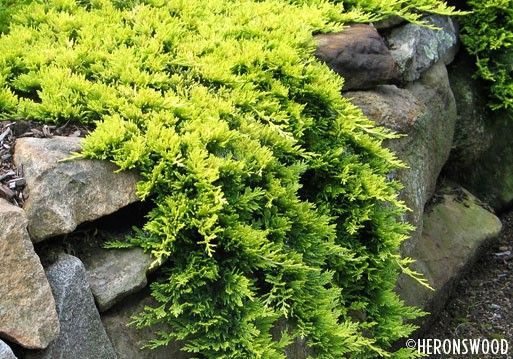 Mother Lode Juniper Ground Cover Pretty Gold Color