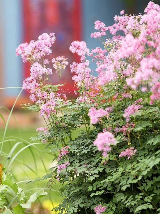 Pretty Pink Meadow Rue adds a pop of color to any garden. Tips for designing your perfect garden: http://www.bhg.com/gardening/gardening-by-region/design-the-perfect-garden/#page=14