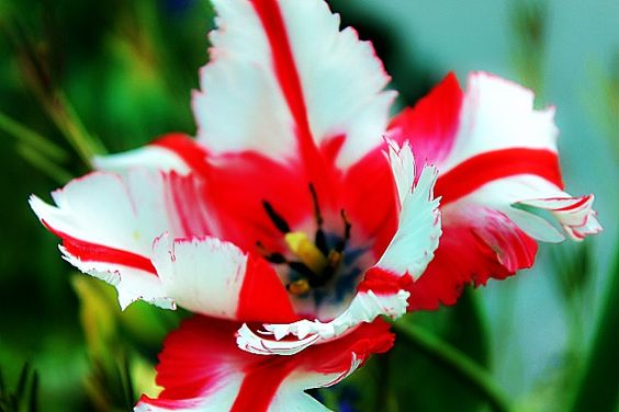 Red & white fringed tulip