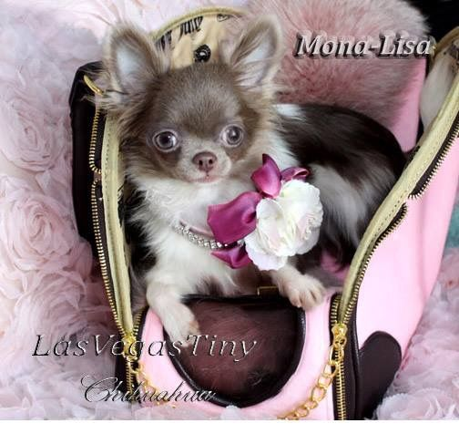 Tiny Chihuahua Blue And Chocolate Chihuahua For Sale In Las Vegas