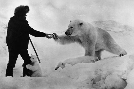Polar bears. Winter.