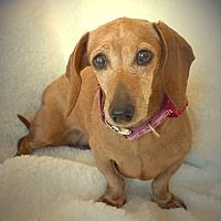 Peanut Nc Dachshund Puppy Miniature Animal Shelter Pet Adoption