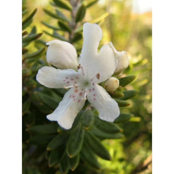 westringia-fruticosa-arbustos-perennesjpg (800×800) landareak