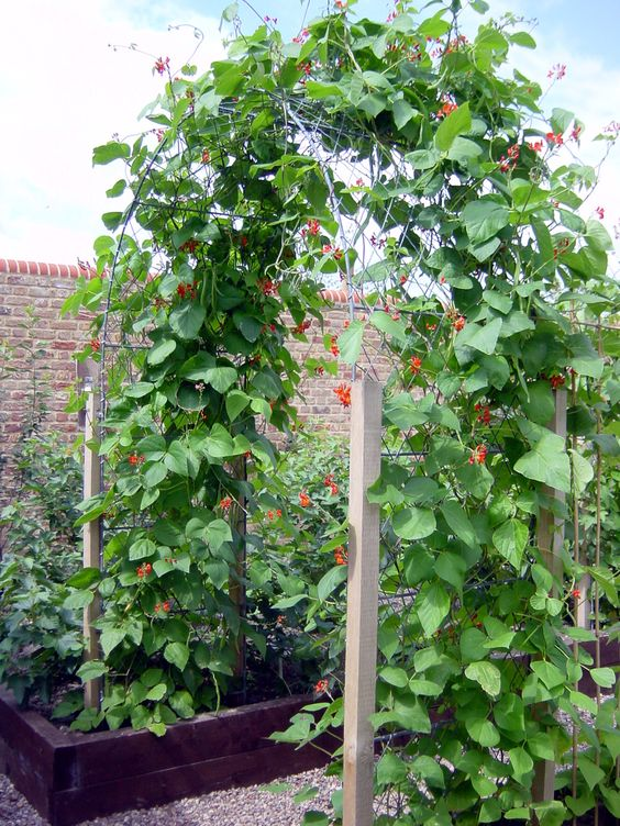 Lush green foliage covering one of our garden arches hand - Garden arch climbing plants ...