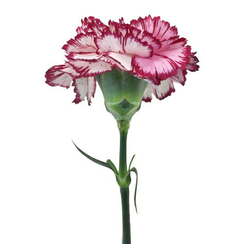 Rendezvous Carnation Flowers Fiftyflowers Com Carnation Flower Flower Farm Carnations