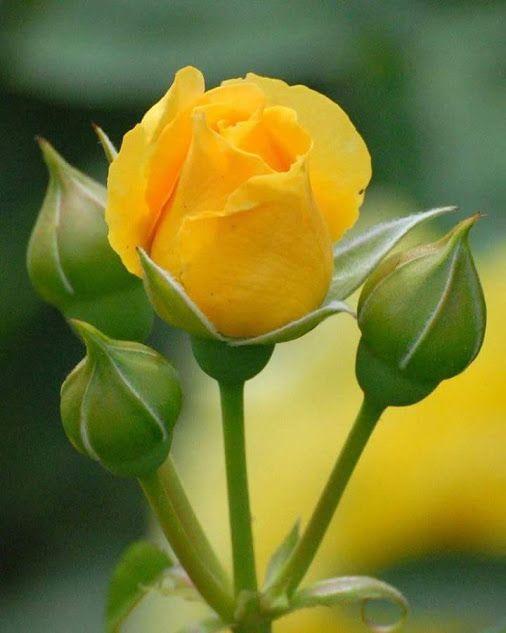 Rosas Y Corazones - Comunidad - Google+