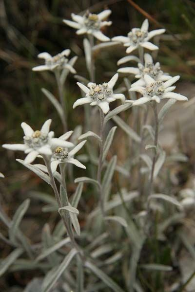 Edelweiss (native to the Alps)