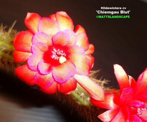 Chiemgau Blut Hildewintera Hybrid