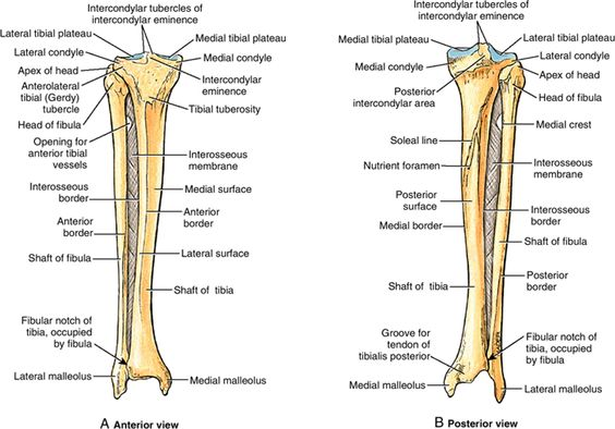 Lower Leg  Anterior And Posterior View Of Tibia And Fibular With Detailed Bony Landmarks