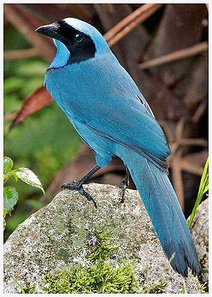 美しい鳥 ジュズカケアオカケス