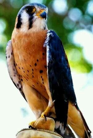 Cernícalo americano (Falco sparverius). Es un ave de la familia Falconidae que mide de 23 a 27cm de largo y habita en gran parte de América, desde Canadá hasta Tierra del Fuego.