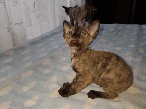 Devon Rex Kittens For Sale Two Girls Sold Sold Devon Rex Kittens Devon Rex Kitten For Sale