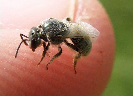 Do You Know That Sweat Bees Sting And How To Get Rid Of Them Naturally Sweat Bee Sting Sweat Bees Bee