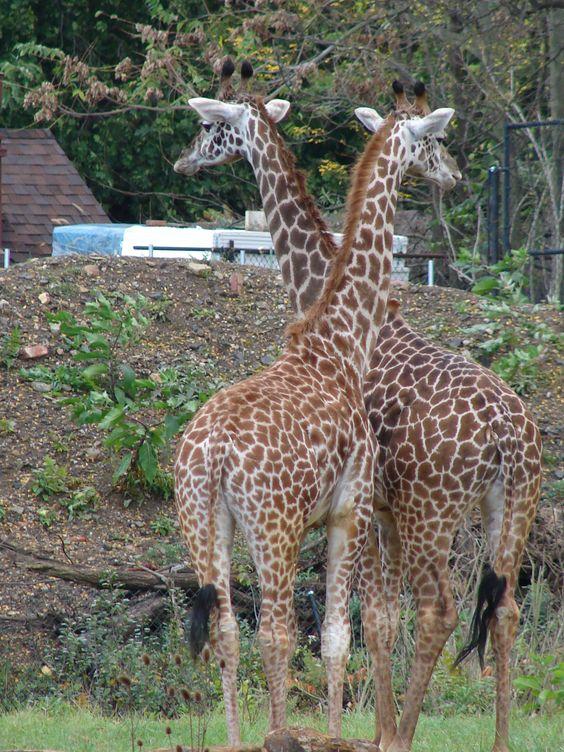 Giraffes Pittsburgh Zoo