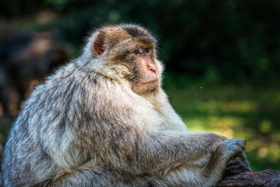 Monkey in Rocamadour_ France