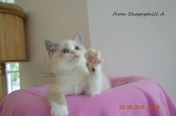 from Sharphill - Britisch Kurzhaar Katzen