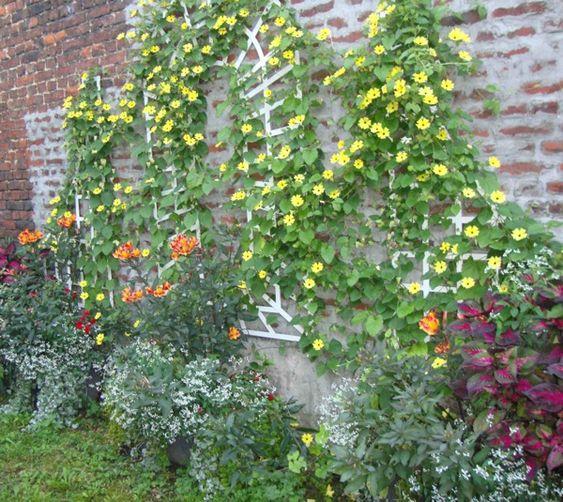 """Fleurir un jardin de ville, c'est souvent des conditions """"extrêmes"""" souvent beaucoup d'ombre ou beaucoup de soleil; ici un exemple d'un mur disgracieux à l'ombre. Ici il a été planté comme plante grimpante une suzanne aux yeux noirs, et au pied du mur un périlla, des euphorbes glitz, des alstroemères Indian Summer"""