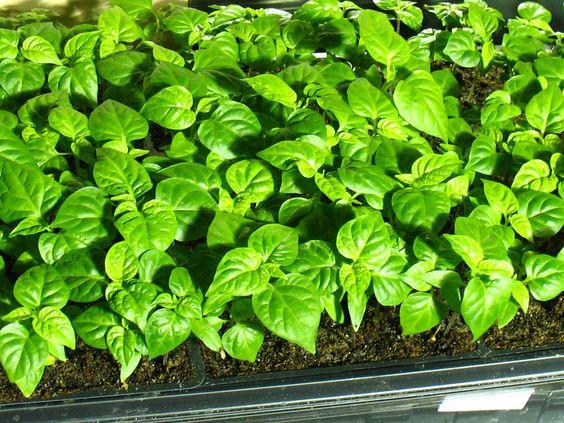 Cultivando plantas ornamentales a partir de semillas,