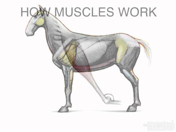 Muscles Animal Anatomy