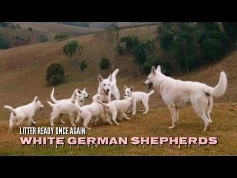 Rare White German Shepherd Puppies For Sale In India From Boskys