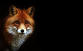 Animal - Fox Wallpapers and Backgrounds