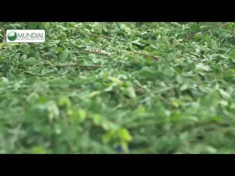 Mundial Agroindustrial - Moringa Oleífera - YouTube