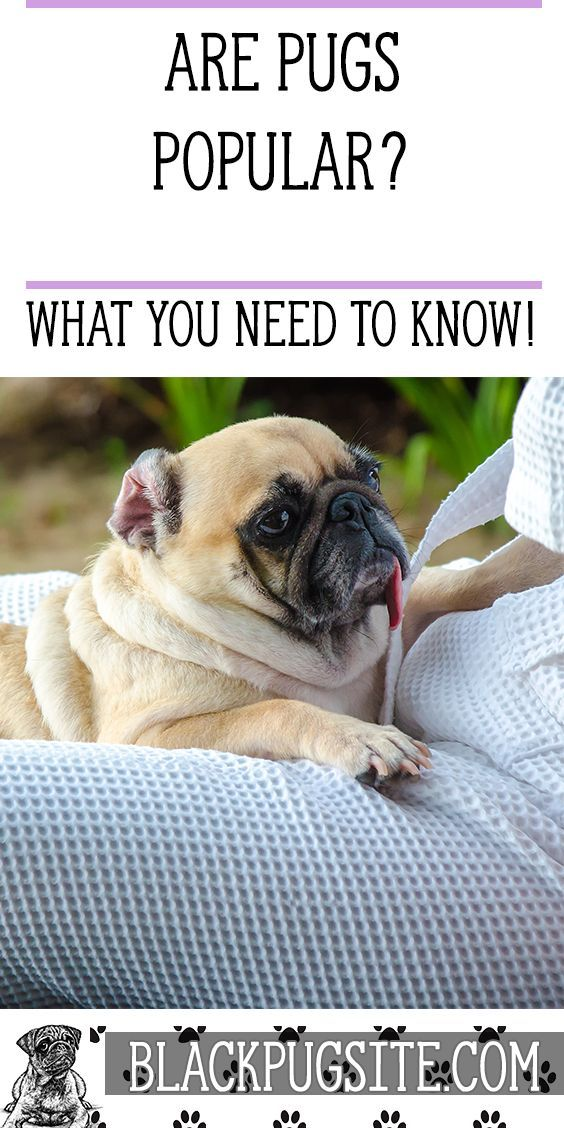 Are Pugs Popular Looking For A Dog That Is Loyal Lovable And