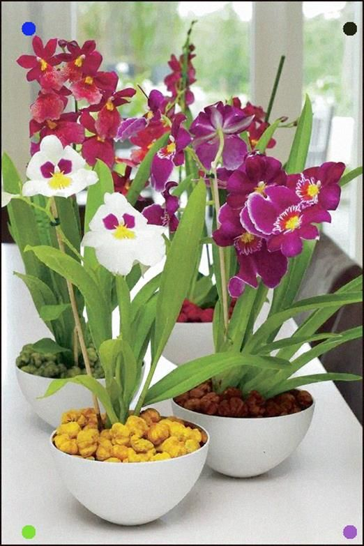 Miltonia Orchids In Different Colors Miltonia Orchid Beautiful Orchids Orchid Plants
