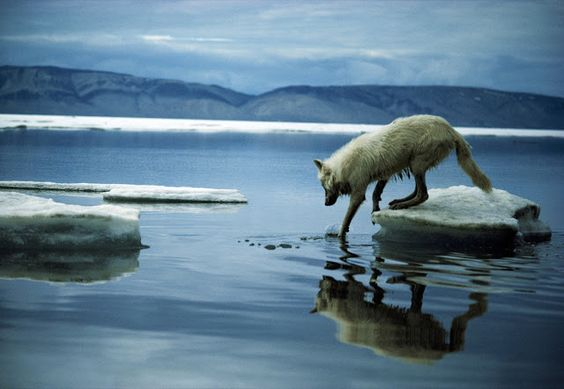 White Wolf: Shell Oil calls off Arctic Oil drilling project for now