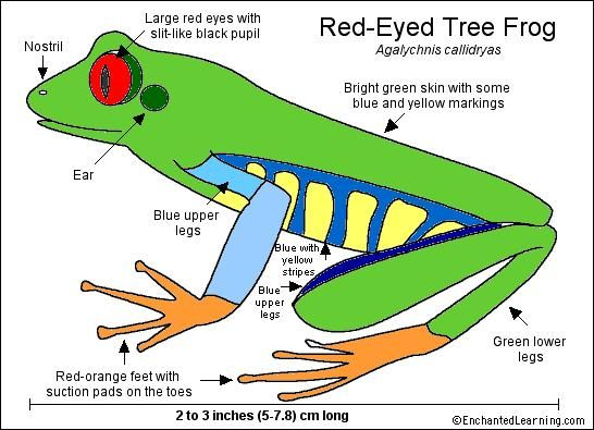 Red-Eyed Tree Frog Printout- Enchanted Learning Software | Art ...