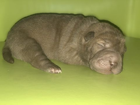 Chinese Shar Pei Puppy For Sale In Milwaukee Wi Adn 69532 On