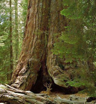 """Maultierhirsch in der Nähe des Grizzly Giant, Mariposa Big Tree Grove, Kalifornien,-Ein weiterer berühmter Baum im Yosemite-Nationalpark ist der seltsam geformten """"Grizzly Giant"""", der größte Baum in Yosemite. Trotz seiner Größe ist er immer noch nur 27. auf der Liste der gr oßen Riesenmammutbäume und wird auch im Umfang von mindestens zehn bis zwanzig anderen Riesenmammutbäume übertroffen."""