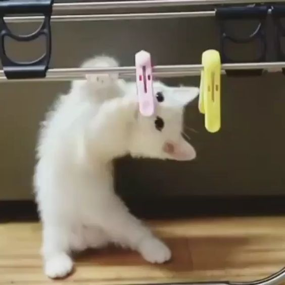 white kitten playing #cat #kitten #whitekitten #catbreed