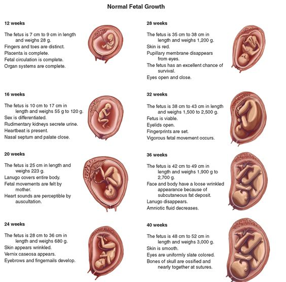 photos of fetal development | FIGURE 65-7 · Different stages of fetal development.