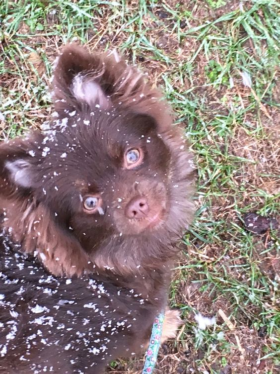 Pomeranian sees her first snow!