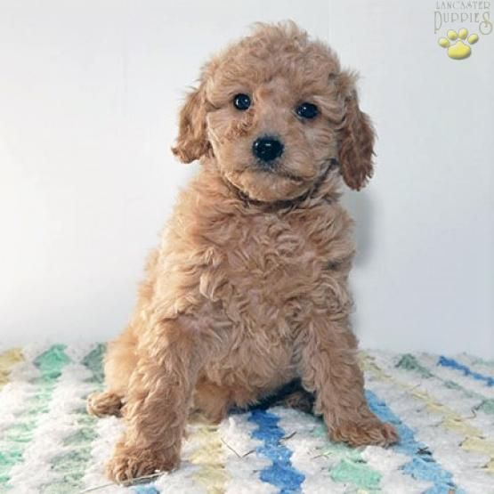 Max F1b Cavapoo Puppy For Sale In Little Falls Ny Lancaster
