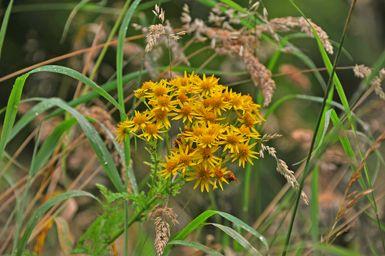 Las flores de la hierba de Santiago (Senecio jacobaea) son tan productivas que una sola planta es capaz de generar más de 10.000 semillas.