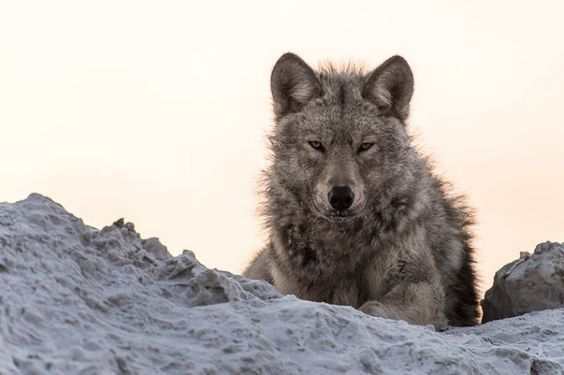 White Wolf : 29 Majestic Photos of Russian Wolves by Ivan Kislov Are Simply Amazing
