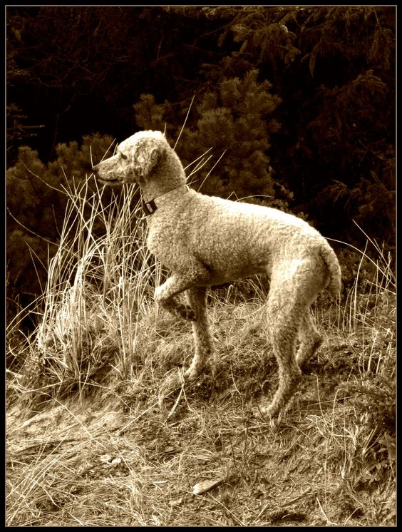 My pointing Standard Poodle (*Spointer*???)   by picma