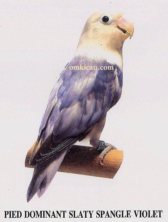 Burung Lovebird Pied Dominant Slaty Spangle Violet Binatang Cantik Hewan Langka Burung Cantik