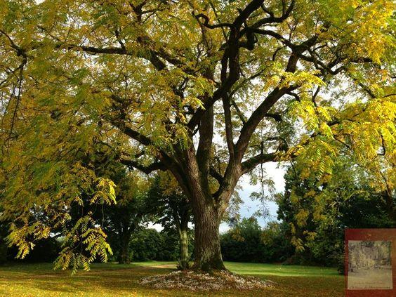 Mon arbre de la vie… Le magnifique noyer noir d'Amérique… My tree of life… the great Black walnut tree...