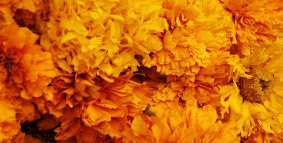 "la ""flor de 20 petalos"" (cempoal-xochitl): cempasúchil"