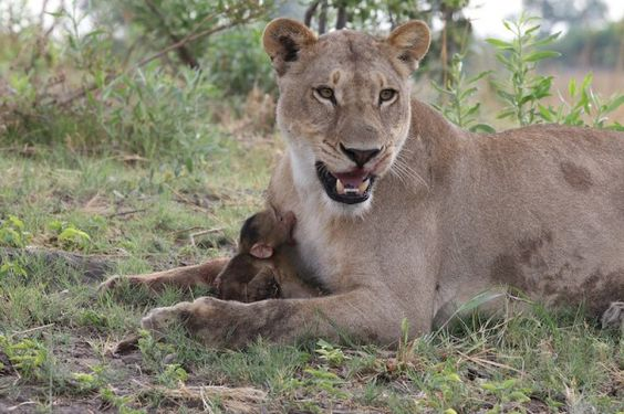 This Lioness Killed A Baboon. But What She Did Next Was Even More Shocking.