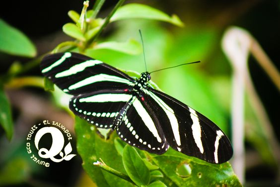 black & white butterfly