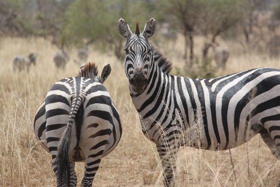 Serengeti, Tanzania! #Afrika
