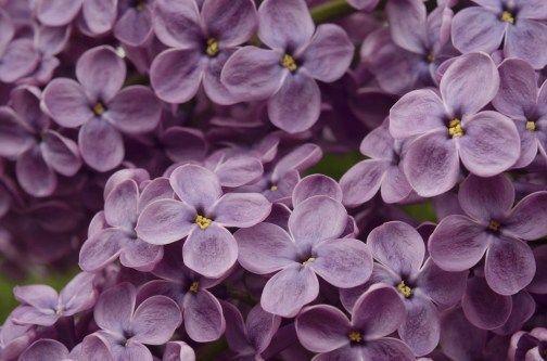 Cameraaesthetic Lilac Aesthetic Flowers In 2020 Purple Flowers Garden Flower Aesthetic Ftd Flowers