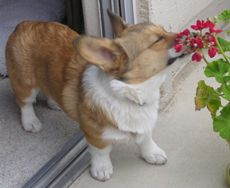 Gotta love a corgi who can stop and smell the geraniums